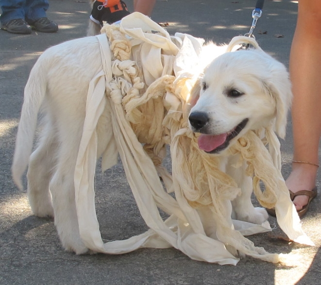 Lab as a Mummy at DOG-O-WEEN