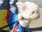 Zuzu as Snow White at DOG-O-WEEN 1