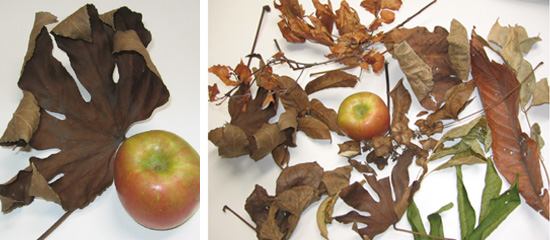 Leaves that Hal brought back compared to an apple