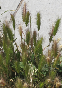 Foxtails grow against a wall