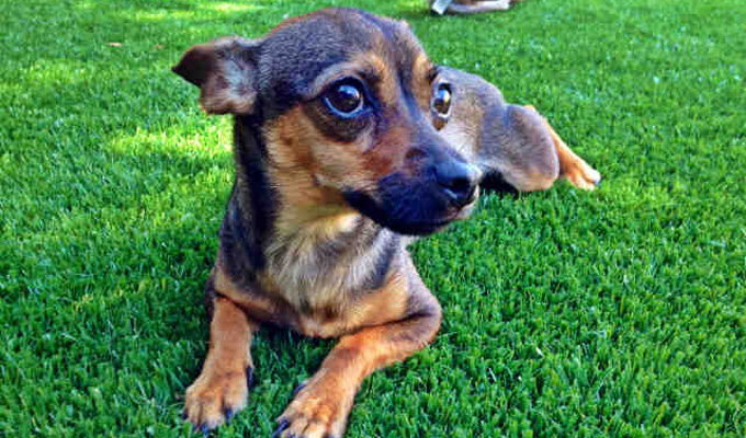 Mindy - Adoptable Dog - female, brown and black Chihuahua