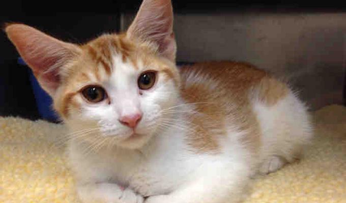 Peaches - Adoptable Cat - female, orange tabby and white ...