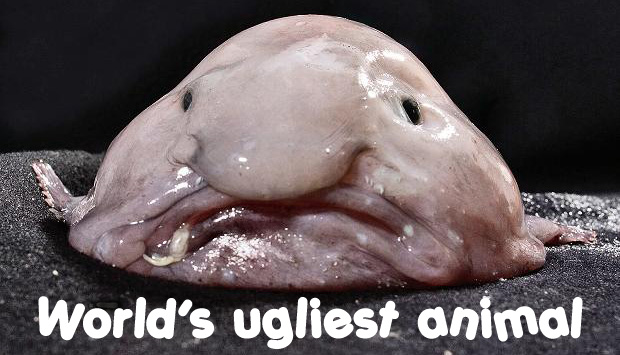 World's Ugliest Animal, bobfish.