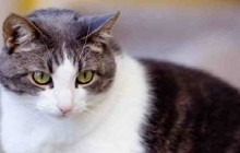 Elly Mae - Adoptable Cat - female, gray and white Domestic Shorthair