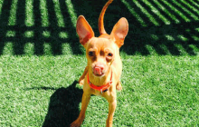 Rex - Adoptable Dog - male, red Chihuahua - Smooth Coated mix