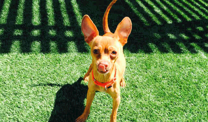 Rex – Adoptable Dog – male, red Chihuahua – Smooth Coated mix