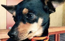 Sally - Adoptable Dog - female, black and red Chihuahua