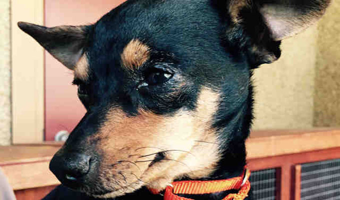 Sally – Adoptable Dog – female, black and red Chihuahua