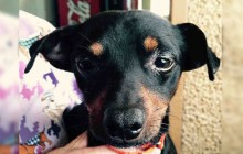 Shorty - Adoptable Dog - male, black and red Chihuahua