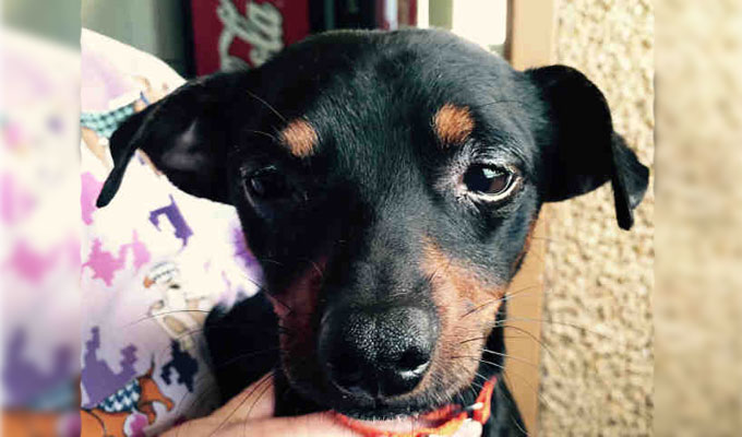 Shorty – Adoptable Dog – male, black and red Chihuahua