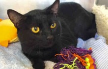 Stryker - Adoptable Cat - male, black Domestic Shorthair