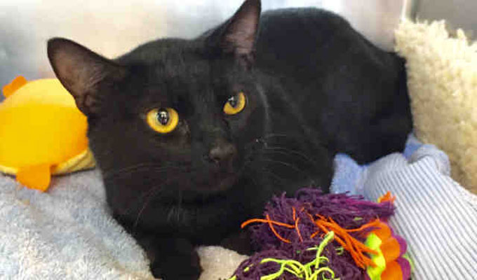 Stryker – Adoptable Cat –  male, black Domestic Shorthair