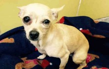 Tinkerbell - Adoptable Dog - female, tan Chihuahua