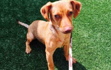 Abby - Adoptable Dog - female, red Dachshund and Chihuahua