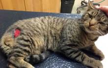 Banjo - Adoptable Cat - male, brown tabby Domestic Shorthair
