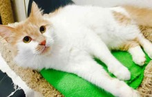 Buttercup - Adoptable Cat - male, white and tan Domestic Longhair