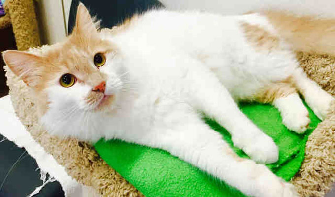 Buttercup – Adoptable Cat – male, white and tan Domestic Longhair