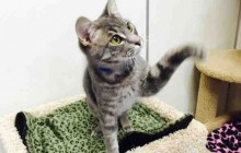 Dylan - Adoptable Cat - male, gray tabby Domestic Shorthair