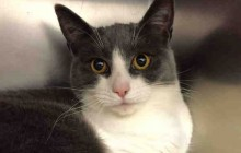 Emily - Adoptable Cat - female, white and gray Domestic Shorthai