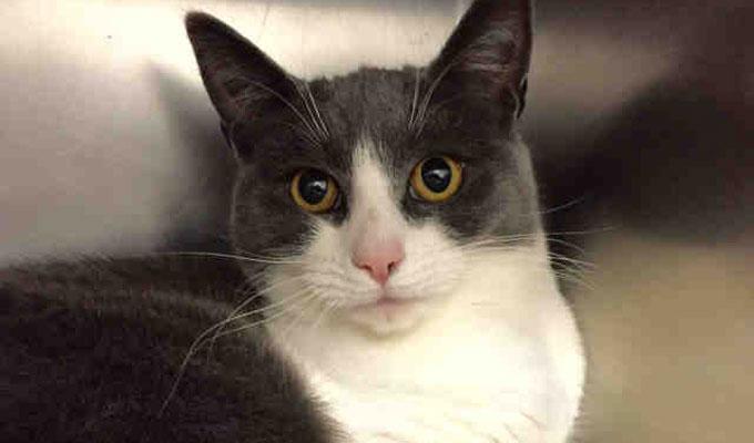 Emily – Adoptable Cat – female, white and gray Domestic Shorthai