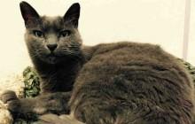 Gabby - Adoptable Cat - female, gray Domestic Shorthair