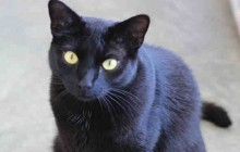 Howie - Adoptable Cat - male, black Domestic Shorthair