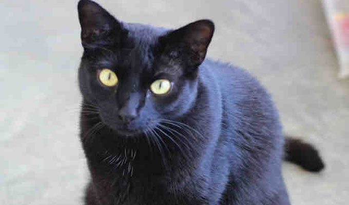 Howie – Adoptable Cat – male, black Domestic Shorthair