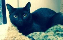 Kyra - Adoptable Cat - female, black Domestic Shorthair