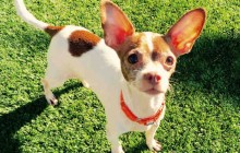 Lila - Adoptable Dog - female, white and brown Chihuahua