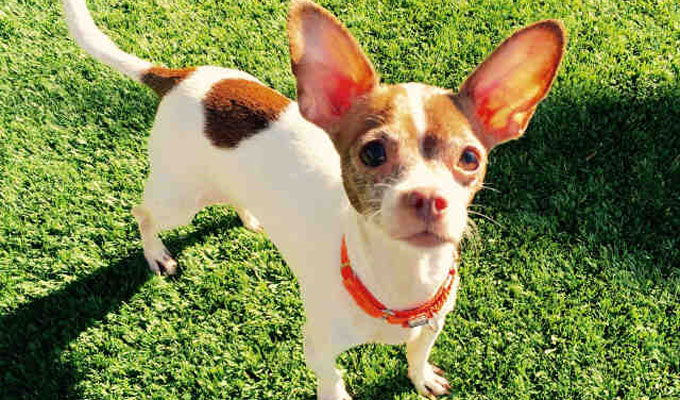 Lila – Adoptable Dog – female, white and brown Chihuahua