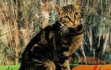 Maggie - Adoptable Cat - female, brown tabby Domestic Shorthair