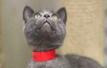 Penelope - Adoptable Cat - female, gray Domestic Shorthair