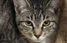 Polly - Adoptable Cat - female, gray tabby and black Domestic Shorthair.