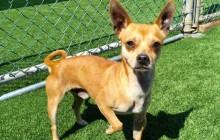 Roger - Adoptable Dog - male, tan and white Basenji mix