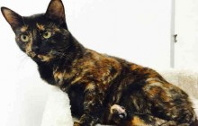 Scarlett - Adoptable Cat - female, tortiseshl Domestic Shorthair