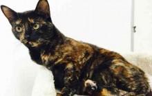 Scarlett - Adoptable Cat - female, tortiseshl Domestic Shorthair