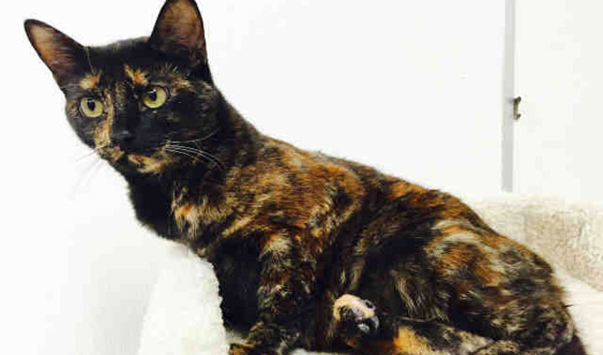 Scarlett – Adoptable Cat – female, tortiseshl Domestic Shorthair