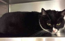 Shadow - Adoptable Cat - female, black and white Domestic Shorthair