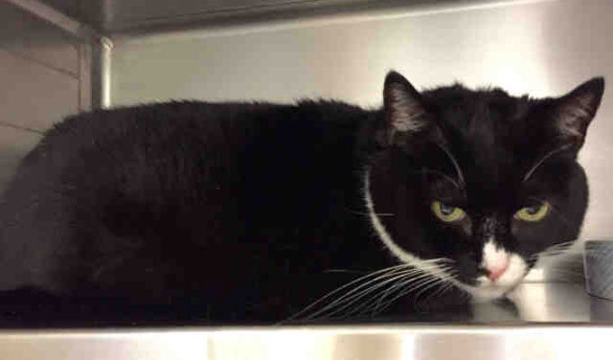 Shadow – Adoptable Cat – female, black and white Domestic Shorthair