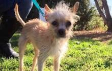 Spike - Adoptable Dog - male, brown Chihuahua