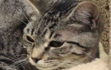 Stewart - Adoptable Cat - male, brown tabby and black Domestic Shorthair