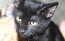Tootsie - Adoptable Cat - female, black Domestic Shorthair