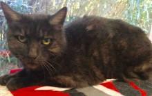 Zoe - Adoptable Cat - female, smoke and gray tabby Domestic Shorthair